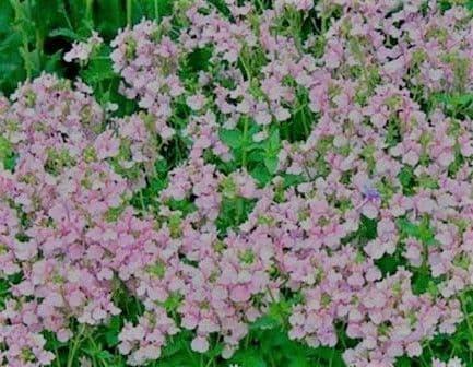 Nemesia Confettii Soft Pink (Hardy)